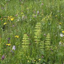 Wald-Schachtelhalm  •  Equisetum sylvaticum. Die Seitenäste sind meist auffällig bogig überhängend.  © Françoise Alsaker