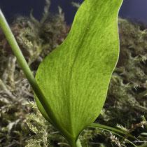 Gemeine Natternzunge  •  Ophioglossum vulgatum. Die undeutlichen, netzartigen Blattnerven sind im Gegenlicht schwach zu sehen. © Françoise Alsaker