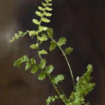 Borstiger Schildfarn  •   Polystichum setiferum 15 Monate nach dem Ausstreuen der Sporen. © Françoise Alsaker