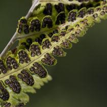 Kamm-Wurmfarn  •  Dryopteris cristata.  © Françoise Alsaker
