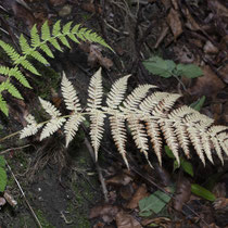 Wald-Frauenfarn  •  Athyrium filix-femina.  © Françoise Alsaker