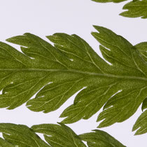 Wald-Frauenfarn  •  Athyrium filix-femina. Die Blattnerven enden kurz vor dem Rand der Fiederchen. © Françoise Alsaker