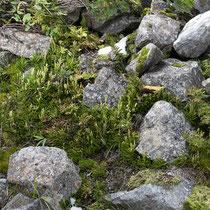 Gemeiner Flachbärlapp  •  Diphasiastrum complanatum.  © Françoise Alsaker