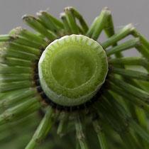 Riesen-Schachtelhalm  •  Equisetum telmateia. Bei den sterilen Sprossen nimmt die Zentralhöhle 1/2 bis 2/3 des Durchmessers des Sprossinternodiums ein. © Françoise Alsaker