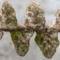 Schriftfarn  •  Asplenium ceterach. Die Sori sind strichförmig und besitzen keinen Schleier. © Françoise Alsaker