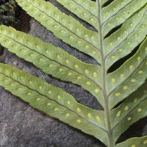 Gallischer Tüpfelfarn  •  Polypodium cambricum. Die Sori  reifen im Winter; junge Sori, Mitte November. © Françoise Alsaker