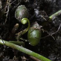 Vierblättriger Kleefarn  •  Marsilea quadrifolia. Die jungen Blätter des Vierblättrigen Kleefarns sind spiralig eingerollt. © Françoise Alsaker