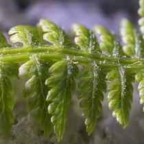 Wald-Frauenfarn  •  Athyrium filix-femina. Bei jungen Blättern sind die Spindeln und Mittelrippen der Fiederchen locker bis dicht mit weißen, keulenförmigen Haaren bedeckt. © Françoise Alsaker