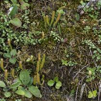 Dorniger Moosfarn  •  Selaginella selaginoides. Die Sprosse werden 4–8 cm hoch. © Françoise Alsaker