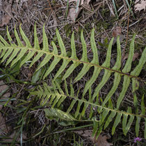 Polypodium × shivasiae. Botanischer Garten Bern  © Françoise Alsaker