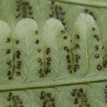 Bergfarn  •  Oreopteris limbosperma. Die Sori sind randlich, ihr Schleier schrumpf bald. © Françoise Alsaker