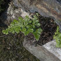 Schwarzstieliger Streifenfarn  •  Asplenium adiantum-nigrum.  © Françoise Alsaker