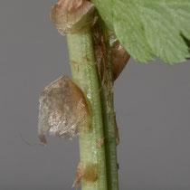 Kamm-Wurmfarn  •  Dryopteris cristata. Der Blattstiel des Kamm-Wurmfarns ist locker mit hellbraunen, einfarbigen Spreuschuppen besetzt. © Françoise Alsaker