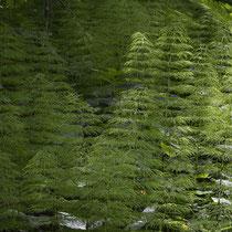 Wald-Schachtelhalm  •  Equisetum sylvaticum.  © Françoise Alsaker