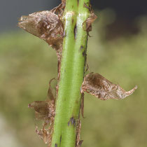 Alpen-Wurmfarn  •  Dryopteris expansa. Der Blattstiel ist vor allem am Grund mit eiförmigen bis lanzettlichen Spreuschuppen bedeckt, diese sind hellbraun und in der Mitte meist dunkler (nussbraun). © Françoise Alsaker