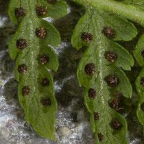Gebirgs-Frauenfarn  •  Pseudathyrium alpestre / Athyrium distentifolium. Die Sori sind rund, die Schleier schrumpfen sehr bald.  © Françoise Alsaker