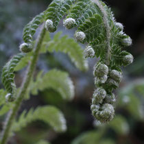 Brauns Schildfarn  •  Polystichum braunii. Bei den Schildfarnen sind die jungen Blätter kurz vor dem vollständigen Entrollen nach außen gebogen. © Andreas Gygax