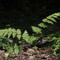 Breiter Wurmfarn  •  Dryopteris dilatata.  © Françoise Alsaker