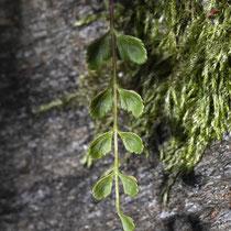 Deutscher Streifenfarn  Asplenium × alternifolium nothosubsp. heufleri. Bei der Nothosubsp. heufleri sind die Fiedern meist gegenständig, bei der nothosubsp. alternifolium meist wechselständig. © Françoise Alsaker