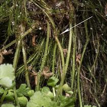 Woodsia pulchella. Der Blattstiel besitzt bei allen Wimperfarnen unterhalb der Mitte eine kleine, knotige Verdickung (der Blattstiel ist an dieser Stelle um 1/5 dicker). © Françoise Alsaker