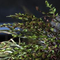 Deutscher Streifenfarn  Asplenium × alternifolium nothosubsp. heufleri. Bei der abgebildeten nothosubsp. heufleri (Elter A. trichomanes subsp. quadrivalens) sind die Fiedern praktisch gegenständig. © Françoise Alsaker