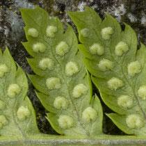 Dorniger Wurmfanr  •  Dryopteris carthusiana.  © Françoise Alsaker