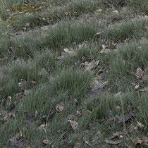 Bunter Schachtelhalm  •  Equisetum variegatum. In einem Moorgebiet im Berner Oberland, Februar 2020.  © Françoise Alsaker