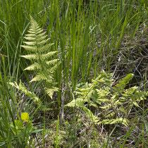 Dorniger Wurmfanr  •  Dryopteris carthusiana. In einem Moorgebiet. © Françoise Alsaker