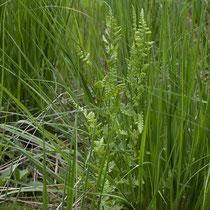 Kamm-Wurmfarn  •  Dryopteris cristata. Habitus eines Kamm-Wurmfarns; am Rand eines Hochmoors zwischen Pfeifengras (Molinia sp.) wachsend. © Françoise Alsaker