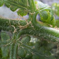 Wald-Frauenfarn  •  Athyrium filix-femina. Die jungen Blätter besitzen weiße, keulenförmige Haare und hellbraune, schmallanzettliche Spreuschuppen. © Françoise Alsaker