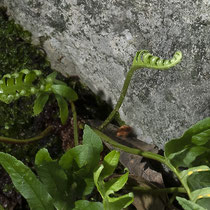 Gallischer Tüpfelfarn  •  Polypodium cambricum. Im Dezember aufgenommen. © Françoise Alsaker