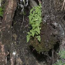Woodsia pulchella.  © Françoise Alsaker