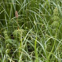 Wald-Schachtelhalm  •  Equisetum sylvaticum. Junge sterile und fertile Sprosse. © Françoise Alsaker