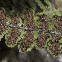 Strichfarn  •  Asplenium petrarchae. Zur Zeit der Sporenreife bedecken die Sporangien die ganze Unterseite der Fiedern.  © Françoise Alsaker