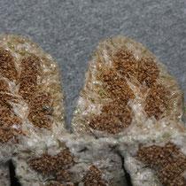 Schriftfarn  •  Asplenium ceterach. Die Sori werden erst zur Zeit der Sporenreife zwischen den Spreuschuppen sichtbar. © Françoise Alsaker