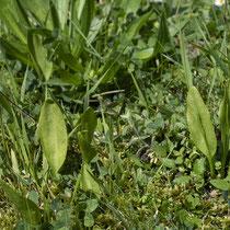 Gemeine Natternzunge  •  Ophioglossum vulgatum. Diese Pflanzen haben, ohne Beeinflussung von Menschen, den Weg in den Botanischen Garten in Lausanne gefunden. © Françoise Alsaker