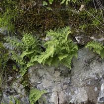 Zerbrechlicher Blasenfarn  •  Cystopteris fragilis aggr.  © Françoise Alsaker