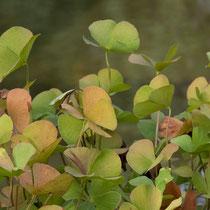 Kleefarn   •  Marsilea quadrifolia.  © Françoise Alsaker