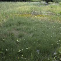 Bunter Schachtelhalm  •  Equisetum variegatum. In einem Moorgebiet im Berner Oberland, Juli 2019. © Françoise Alsaker