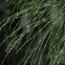 Wald-Schachtelhalm  •  Equisetum sylvaticum. Die Seitenäste sind 2- bis 3-mal verzweigt. © Françoise Alsaker