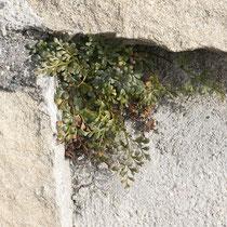 Mauerraute  •  Asplenium ruta-muraria. Die Mauerraute besiedelt kalkhaltige Fels- und Mauerspalten. © Françoise Alsaker