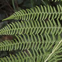 Wald-Frauenfarn  •  Athyrium filix-femina. Die Blattspreite ist 2- bis 3-fach gefiedert. © Françoise Alsaker