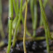 Pillenfarn  •  Pilularia globulifera. Die jungen Blätter des Pillenfarns sind spiralig eingerollt. Botanischer Garten in Fribourg. © Françoise Alsaker