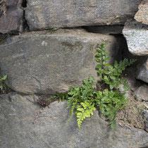 Billots Streifenfarn  •  Asplenium billotii. Billots Streifenfarn besiedelt Fels- und Mauerspalten. © Françoise Alsaker