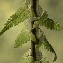 """Straußfarn  •  Matteuccia struthiopteris. """"In der unteren Hälfte der Blattspreite sind die innersten, nach unten gerichteten Abschnitte über die Oberseite der Blattspindel gekrümmt."""" © Françoise Alsaker"""