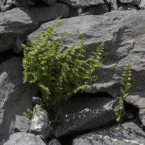 Alpen-Blasenfarn  •  Cystopteris alpina.  © Françoise Alsaker