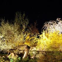 2008年夜桜