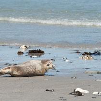 Seehunde am Strand der Düne, Helgoland
