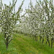 Apfelplantage am Schloß - Hohen Niendorf