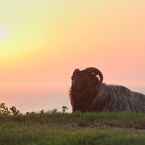 Helgoländer Schaf guckt Sonnenuntergang